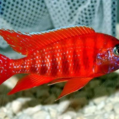 Aulonocara sp. Rubin Red Peacock