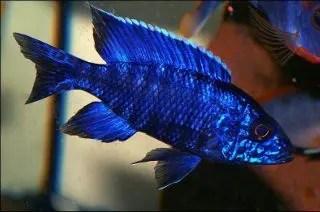 Aulonocara nyassae - Blue peacock
