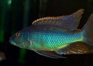 Champsochromis spilorhynchus - Haplochromis Mbwannae
