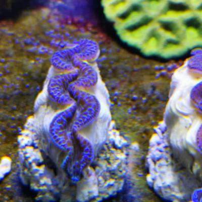 Tridacna Maxima 5-6 cm