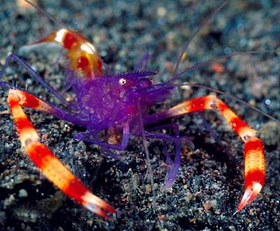 Stenopus Tenuirostris