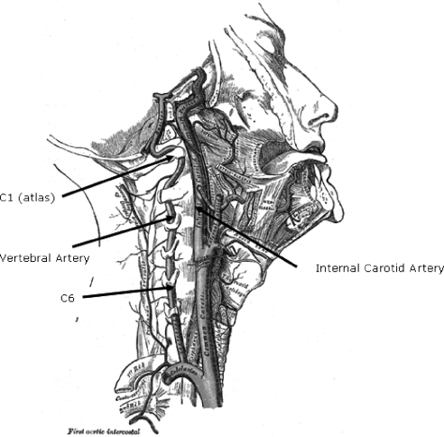 Course of the vertebral and internal carotid arteries through the cervical spine