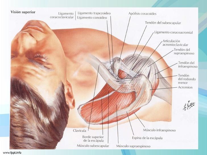 Fisioterapia de la Serna. El hombro del nadador | Fisioterapia de la ...