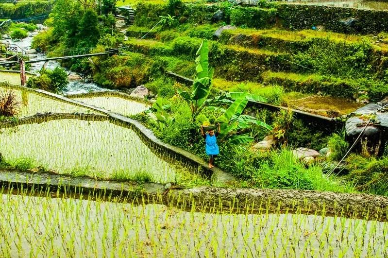 rice terraces local