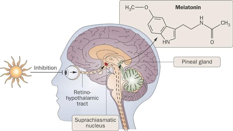 Image result for melatonin