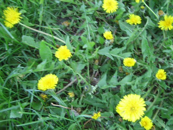 dandelion-flowers-and-greens
