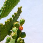 Nopal cactus helps lose weight
