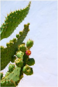 Nopal clinical studies