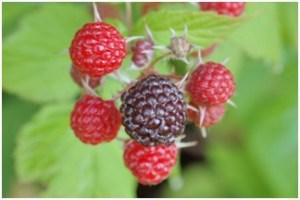 How Does Raspberry Ketones Work