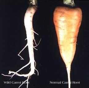 vegetales salvajes vs modernos