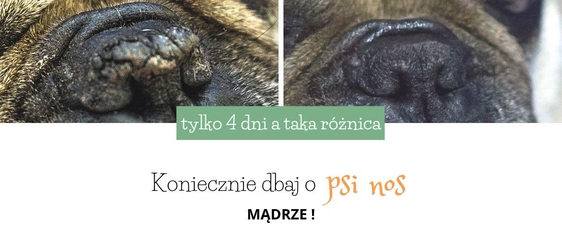 suchy nos psa - jak pielęgnować i jakich błędów nie popełniać
