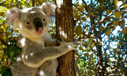 VLOG – Un koala à Magnetic Island