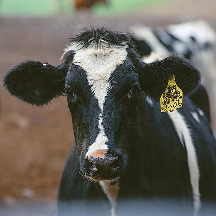 Dairy Cow - Five Acre Farms