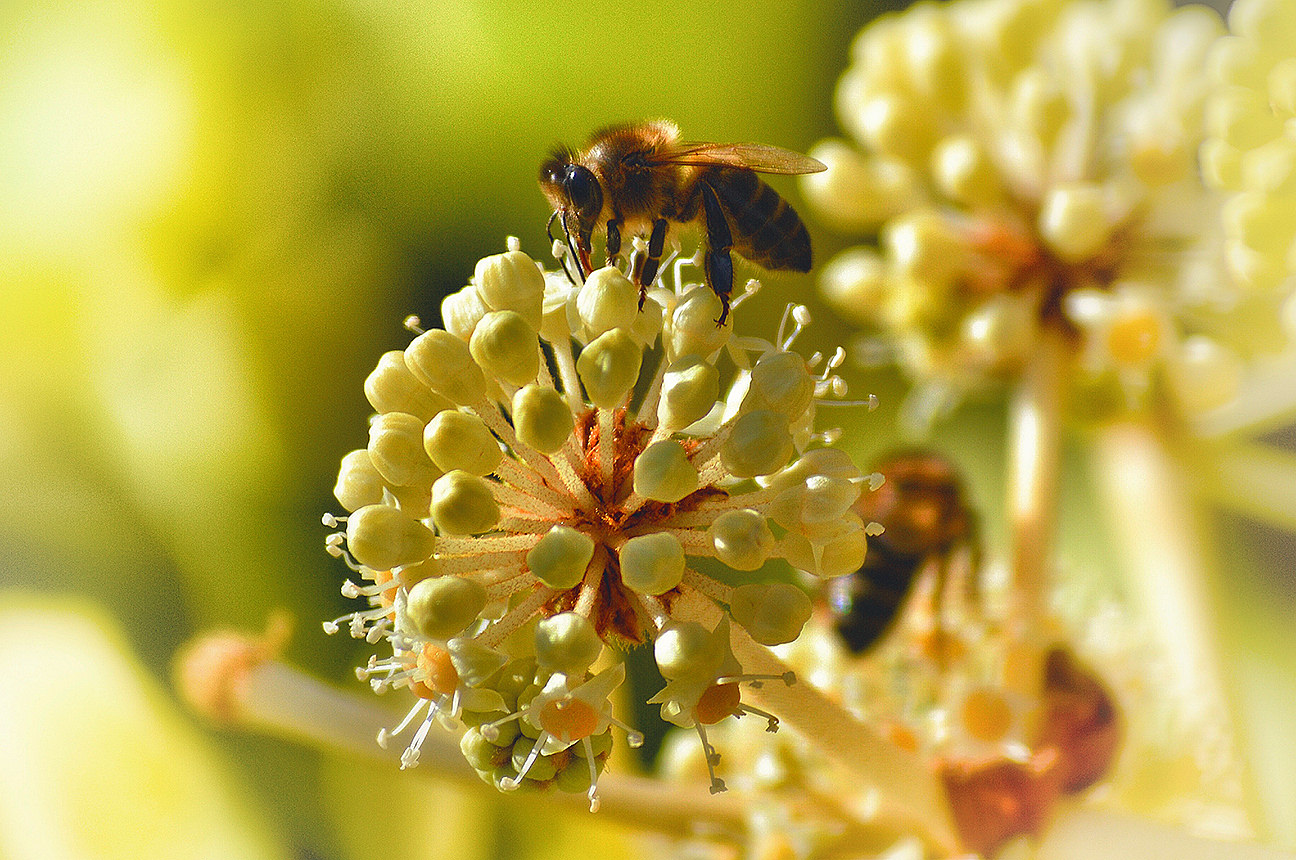 bee-on-flower Ag IN YOUR BAG: LOCAL LOVES THE RESILIENT HONEYBEE