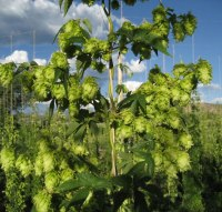 Neomexicanus hops on the bine.