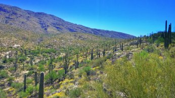 Saguaro everywhere