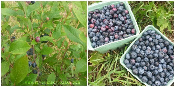 Panna Cotta and Blueberry Flambe Recipe