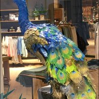 Peacock Window Dressing Aux
