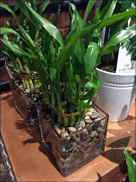 Winter Sales of Bamboo Indoor Plants