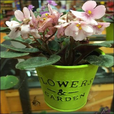 African Violets In a Pail Merchandising Feature