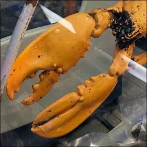 Live Lobster Prop For Seafood Case Display