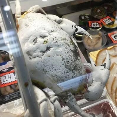 Cooler Case Crab Carapace Merchandising Prop