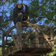 Monkey Crossing Guard Lookout Prop