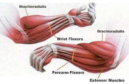 Rider Fitness: Forearm Strength Muscle Diagram