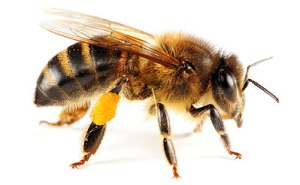 A Honey Bee Sting Can Send You Into Anaphulaxis