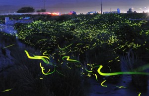 Beautiful Long Exposures of Fireflies at Night