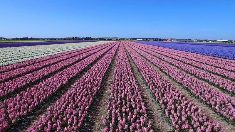 Drone Flight Over Dutch Flower Fields Will Freshen You Up