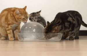 A Bunch of Cats Licking a Giant Ball of Ice