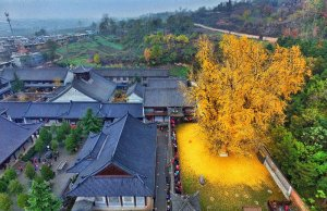 Check Out Ancient Ginkgo at a Buddhist Temple in China