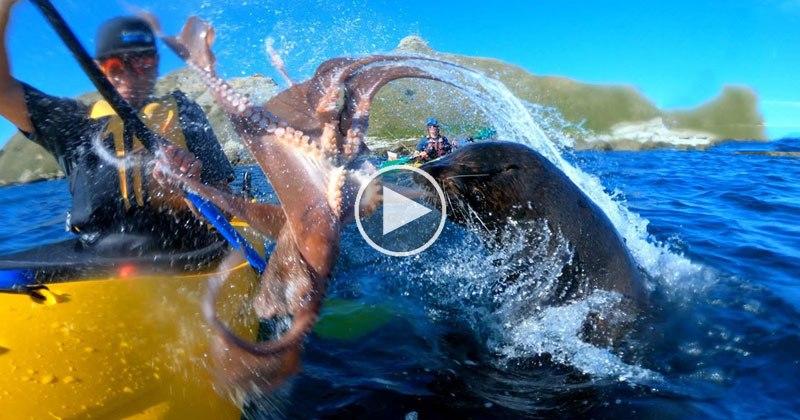 seal-slaps-kayaker-with-octopus