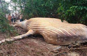 Dead Humpback Whale