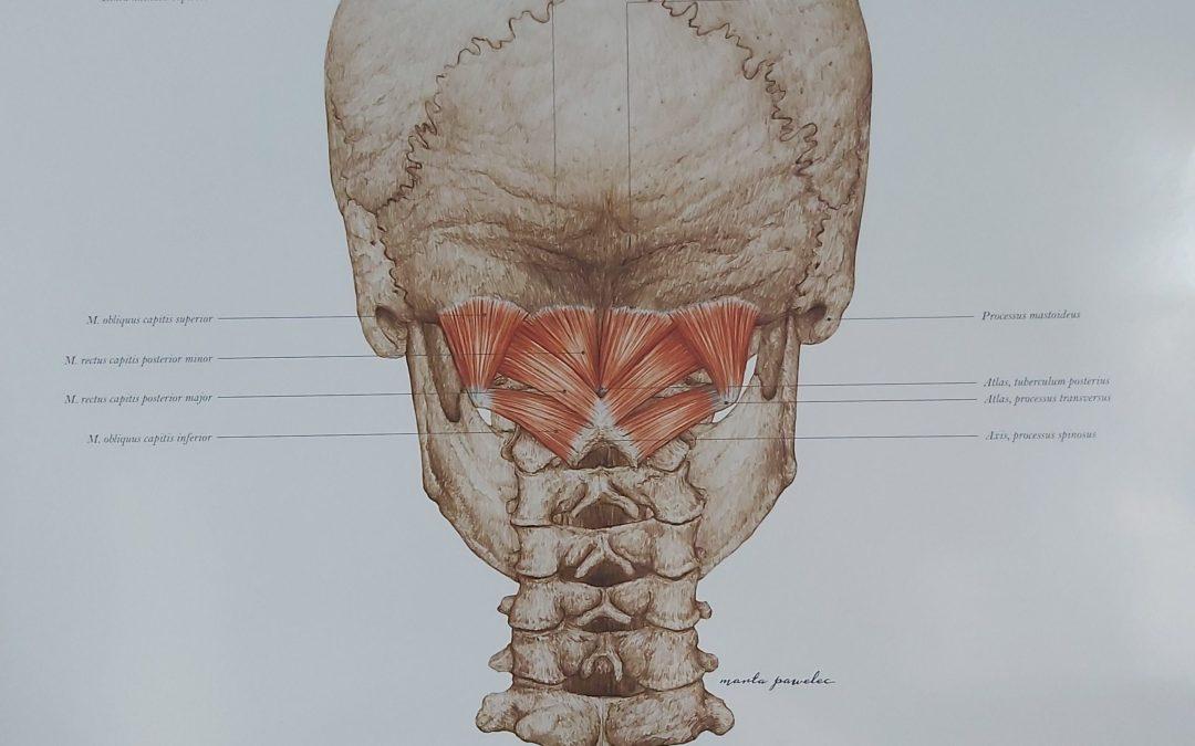 Mięśnie podpotyliczne