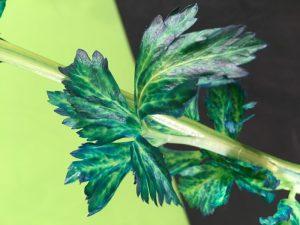 Celery Transpiration Science Experiment - sitting celery in blue water (after a few hours)