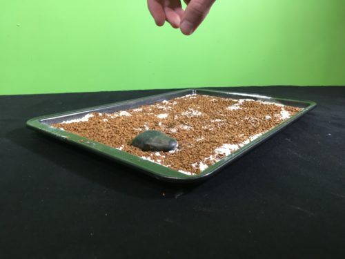 Model Meteorite Strikes Science Experiment - throwing first rock into baking tray