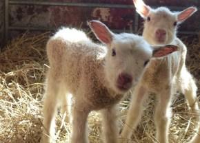 söta lamm