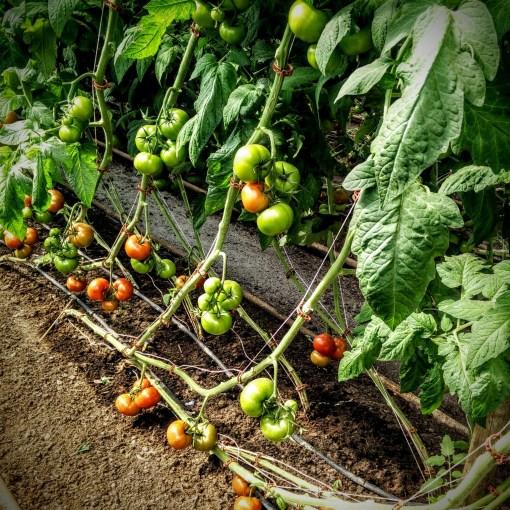 Sörgården grönt tomater mognar