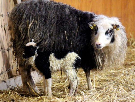 Yellow stall lamb