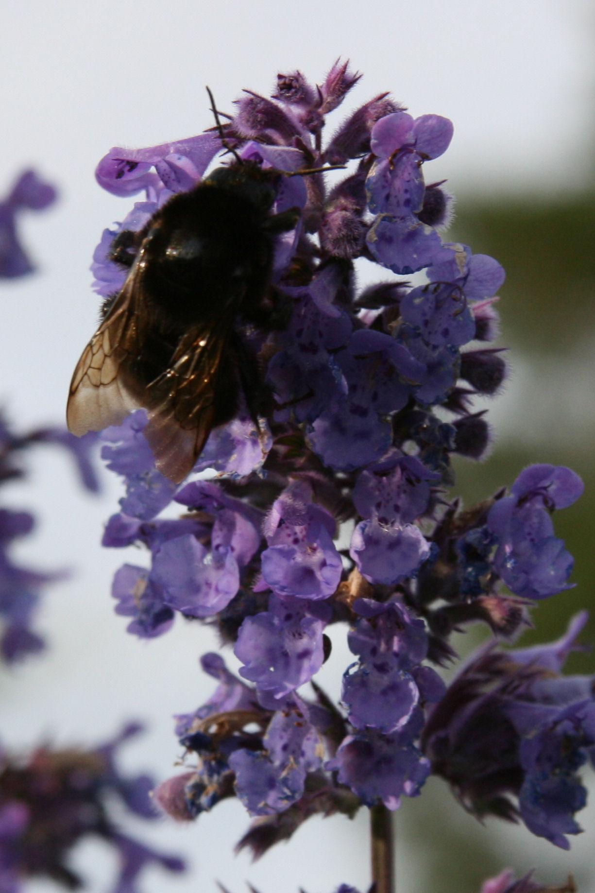 bumblebees 5