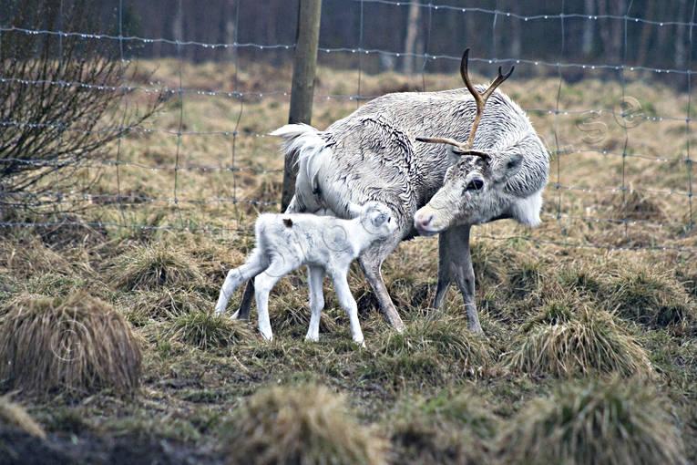 arbete, djur, däggdjur, kalv, kultur, nyfödd, nyfödd djur, renar, renhage, renkalv, renskötsel, samekultur, vaja