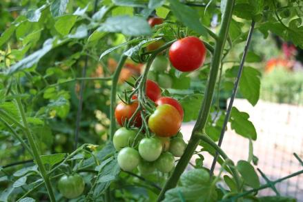 Home vegetable garden tomato