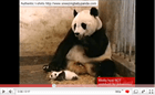 Sneezing Baby Panda (*73,530,389 views)