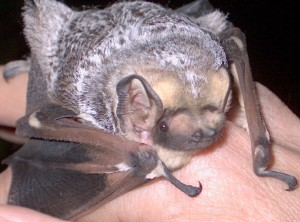 Hoary Bat Photo Credit: Lewis Young
