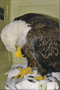 Found near Hamilton MT, 2014, this Bald Eagle died from lead poisoning. It exhibited clinical signs of lead poisoning such as head and wing droop, muscle tremors, and anorexia. Photo courtesy Brooke Tanner, Wild Skies Raptor Center.