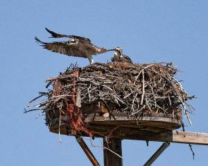 Osprey nest with bailing twine Photo Credit: Don McCarter