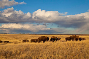 Bison on American Prairie Reserve Photo Credit: APR
