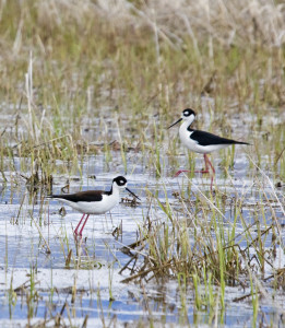 Black-necked Stilt Photo Credit: John Winnie Sr.